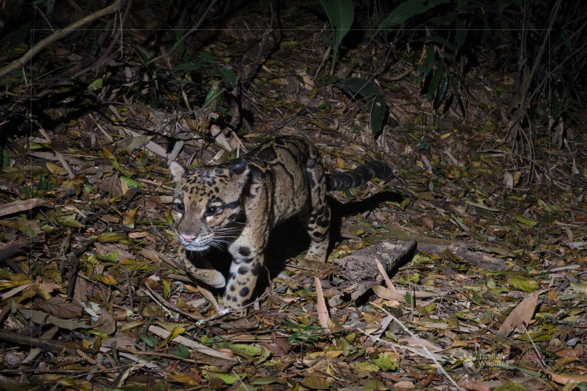 Thailand mammals - Clouded Leopard