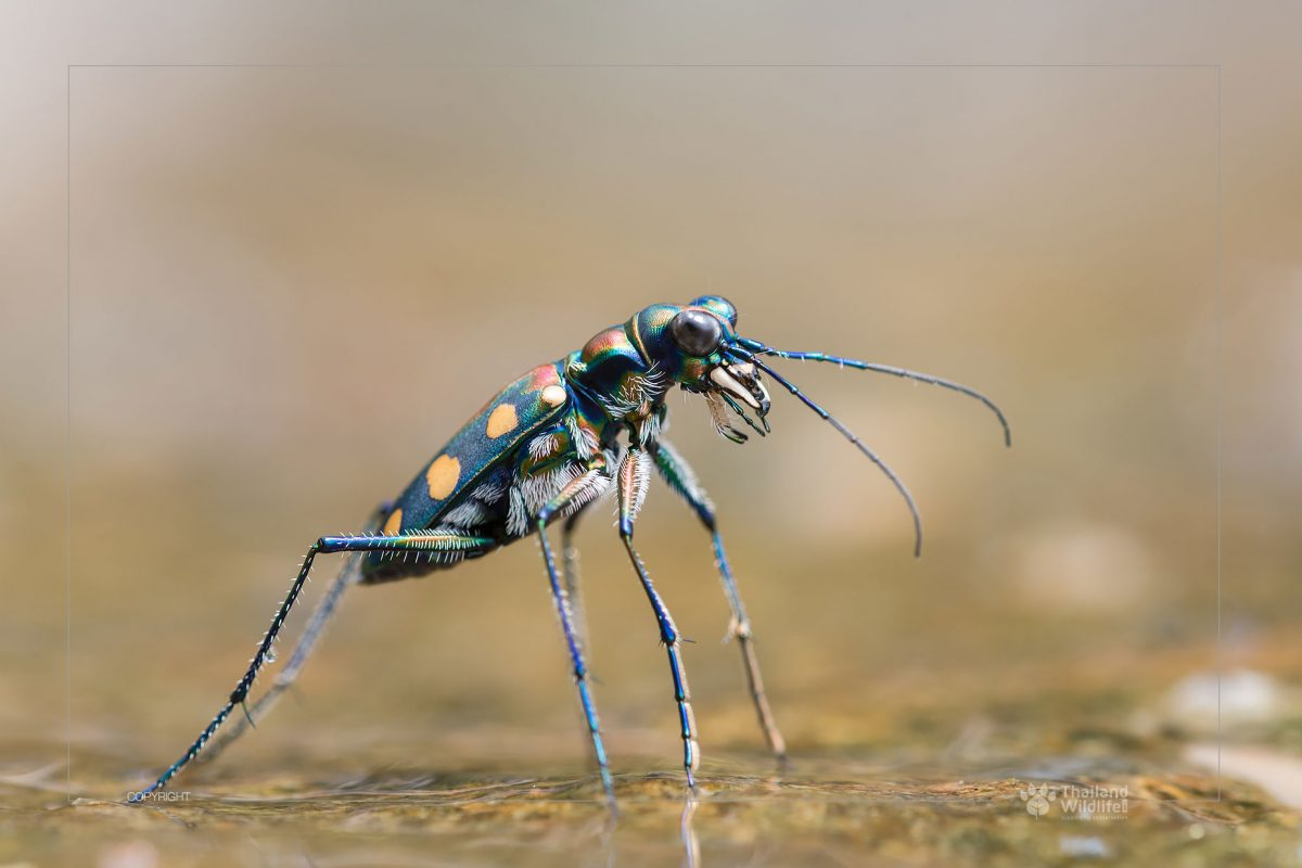 Tiger beetles