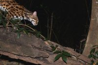 Leopard cat cat hunting